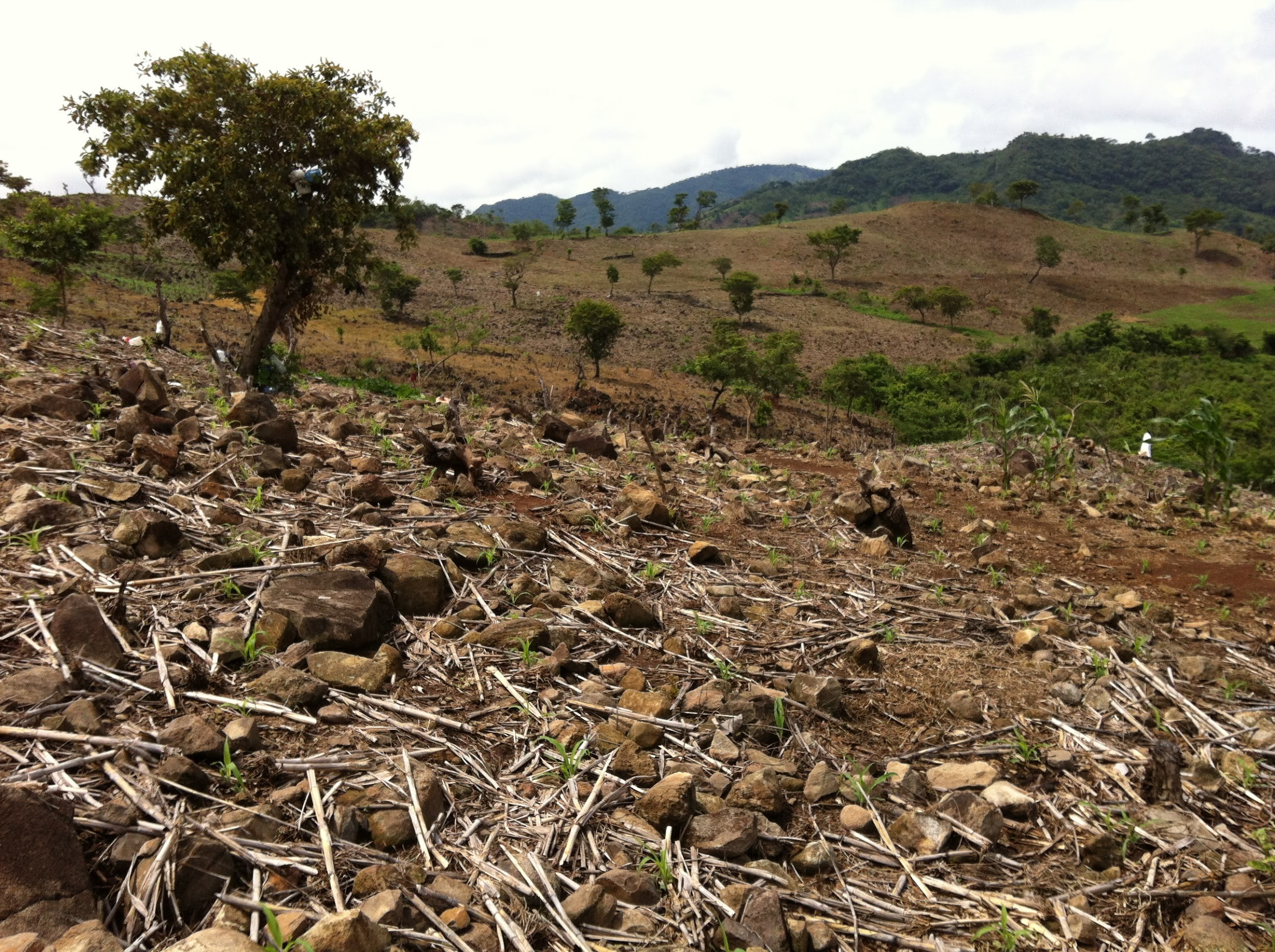 Because of land scarcity and limited resources, many small-scale subsistence farmers in El Salvador have had no choice but to use rocky soil like this to grow their crops. The fields shown in this photo are rented by several different farmers. Photo credit: Sean Kearney, ABES Project